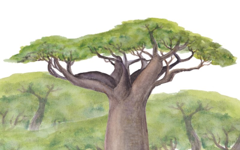Some amazing medicinal plants – the Baobab tree