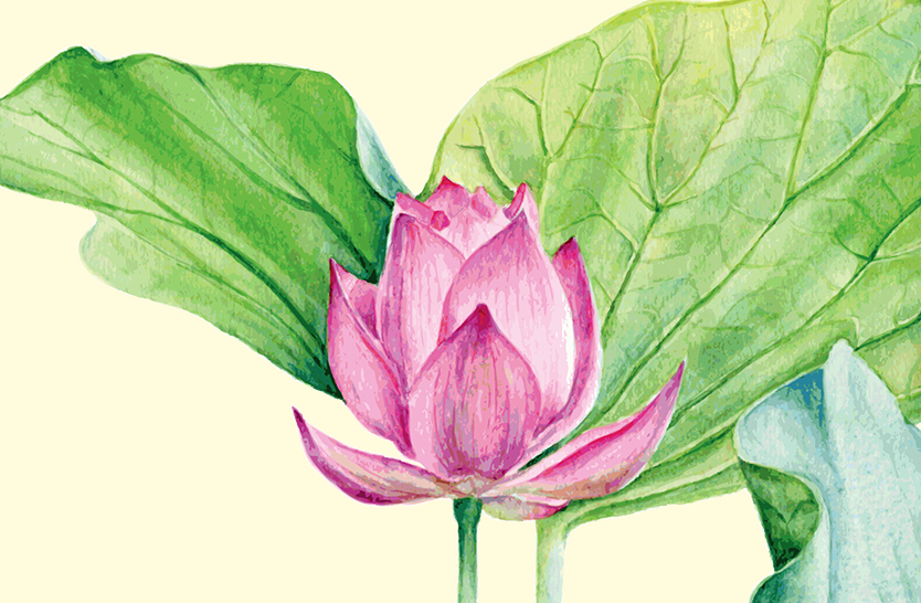 Some amazing medicinal plants: the lotus