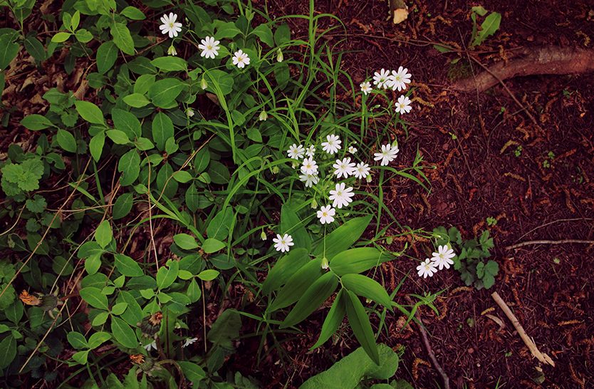 Chickweed – part 1
