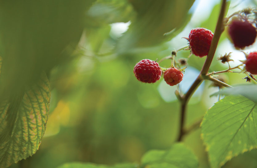 Lessons from the Garden – Raspberries as Agents of Change